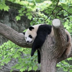 This looks comfortable. Chengdu panda research center.