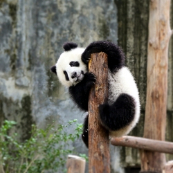 "This curious panda cub climbed the post to get a better look...at us! ""Look Ma! White people!"""